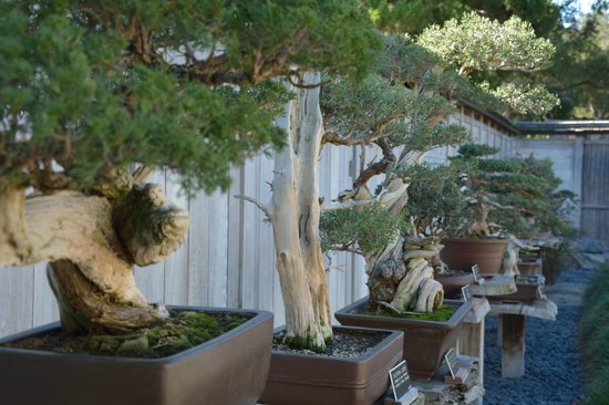 The Huntington Library, Art Collections and Botanical Gardens: Bonsai!