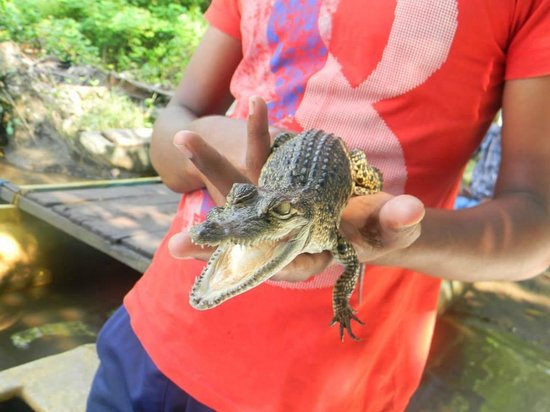 VTS Lanka Tours: The baby crocodile we petted