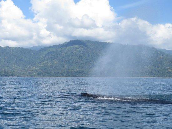 Phidjie Lodge : Whale watching from Uvita