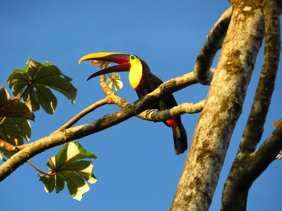 Phidjie Lodge : Tucan - one of six seen at once in garden
