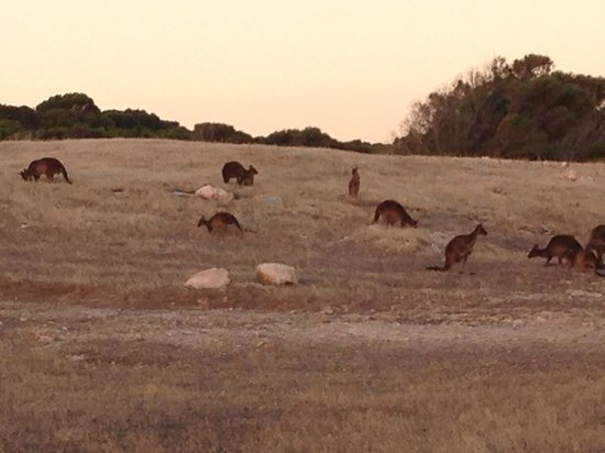 Waves and Wildlife Cottages: kangaroos outside our cottage