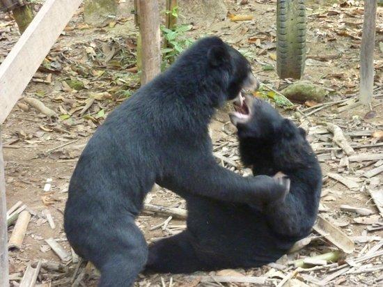 Kuang Si Falls: Asian Black Bears Playfighting