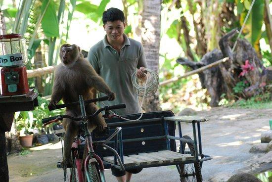 Chiang Mai Monkey Centre : spettacolo
