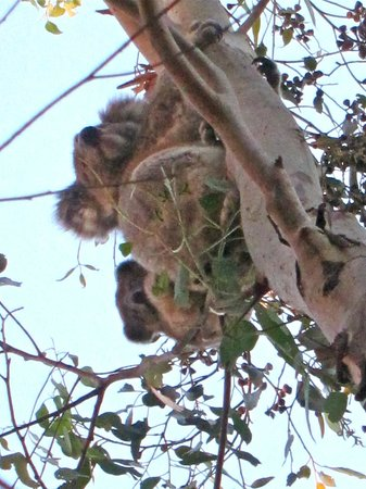 Western KI Caravan Park and Wildlife Reserve: koalas on the grounds
