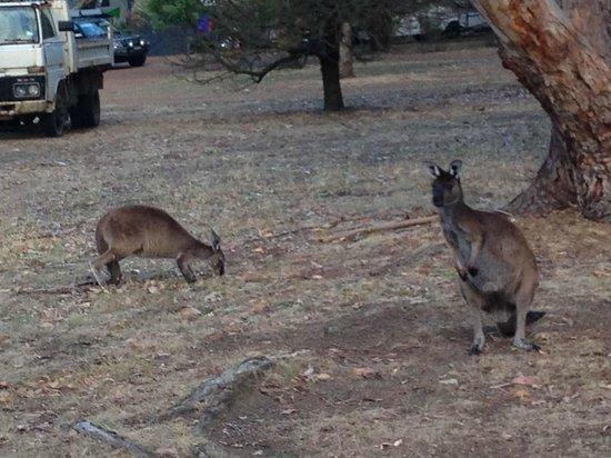 Western KI Caravan Park and Wildlife Reserve : Kangaroos outside cabin