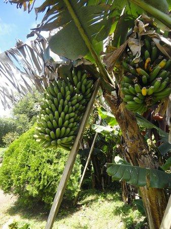 Quinta da Terca: The tasty bananas in the garden