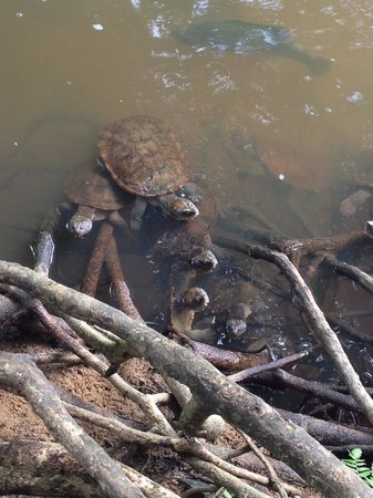 Paronella Park: Ooh. A turtle or two