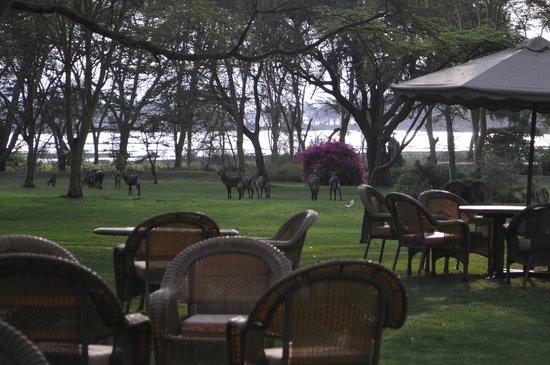 Lake Naivasha Country Club-Sun Africa Hotels: Resident waterbuck herd