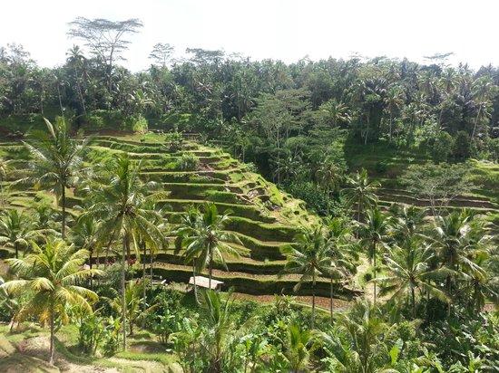 Tegalalang rice terraces nearby Alam Sari