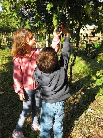 Agriturismo ai Ciliegi: vineyard