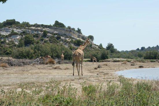 Reserve Africaine de Sigean: bij de Giraffen
