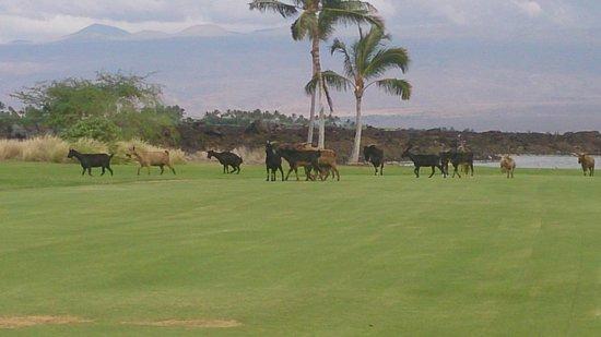 Waikoloa Kings' Course: 野生の山羊の群れ