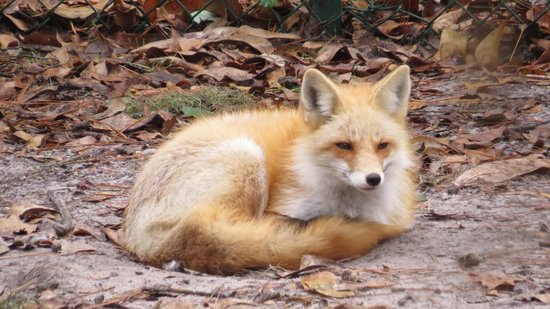 Oatland Island Wildlife Center: beautiful fox