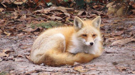 Oatland Island Wildlife Center : beautiful fox