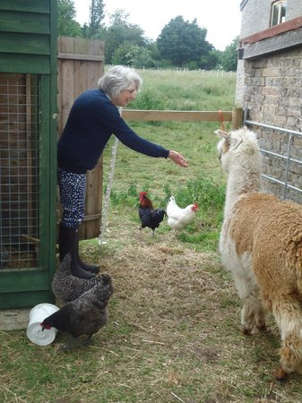 College Farm Bed & Breakfast: Feeding alpacas & chickens