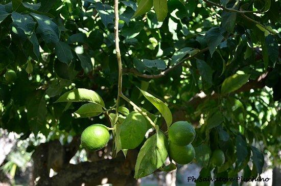 Cambiocavallo - Unesco Area & Resort : Lemon trees