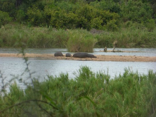 Lower Sabie Restcamp: Hippos in river in front of room