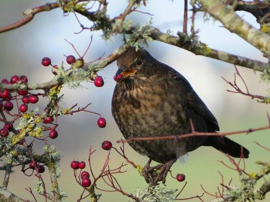 Mersehead Nature Reserve: Blackbird - female