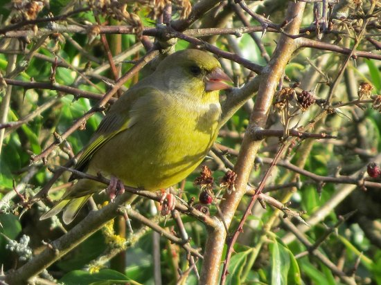 Mersehead Nature Reserve: Greenfinch