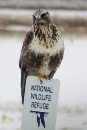 Bear River Migratory Bird Refuge: Rough Legged Hawk