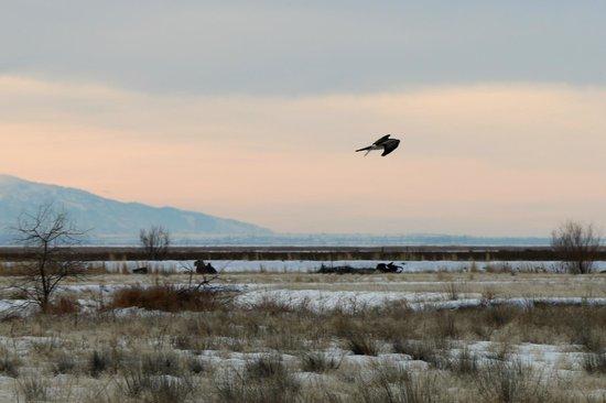 Bear River Migratory Bird Refuge: BRMBR