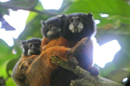 Napo Wildlife Center Ecolodge: golden tamrin; niet 1 maar 2 babies.