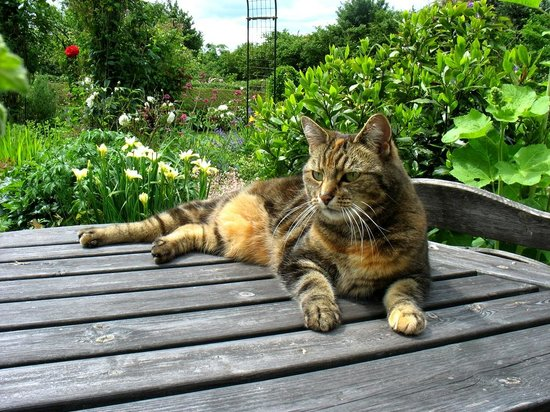 Knowbury, UK: Resident cat enjoying the garden