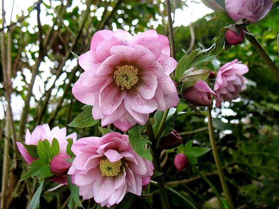 Knowbury, UK: One of the many winter hellebores in the garden