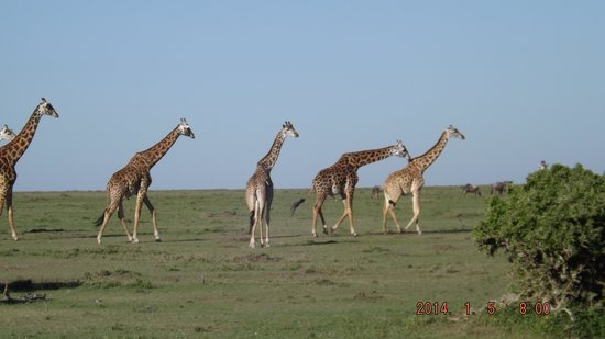 Mara Bush Houses, Asilia Africa: Four Girafe males. Following a female in hit