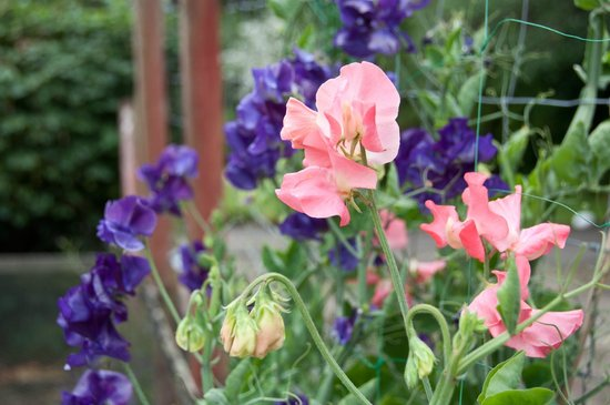 Cosses Country House: Sweet Peas