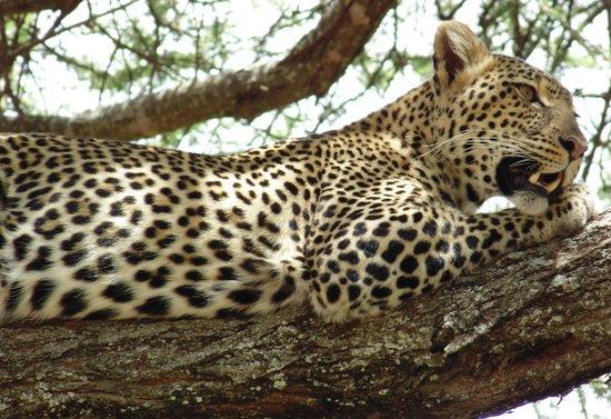 Tarangire Safari Lodge : Leopard in Tarangire National Park