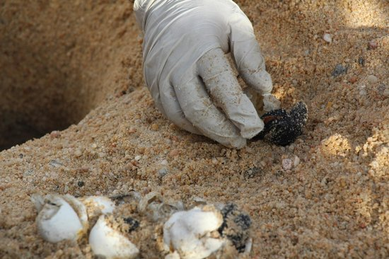 Hilton Los Cabos Beach & Golf Resort: Person who inspects nests - checking on newborn turtle
