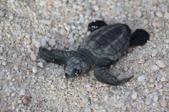 Hilton Los Cabos Beach & Golf Resort: Newly hatched turtle