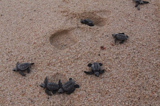 Hilton Los Cabos Beach & Golf Resort: Newborn turtles vs shoe size