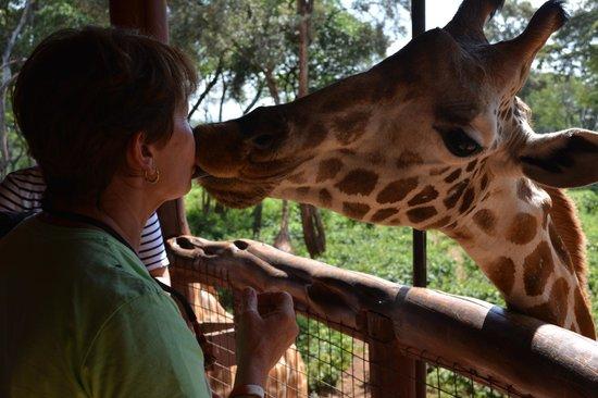African Fund for Endangered Wildlife (Kenya) Ltd. - Giraffe Centre: Kiss a Giraffe