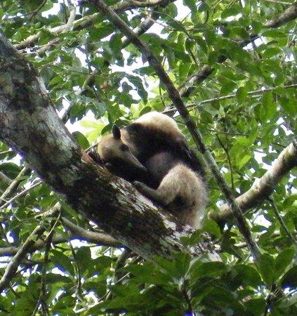 Rio Bravo Forest Reserve : Tamandua - Anteater