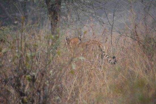 The Oberoi Vanyavilas: My tiger sighting