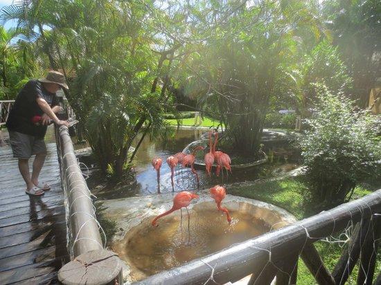 Iberostar Cozumel: The Flamingos are really lovely.