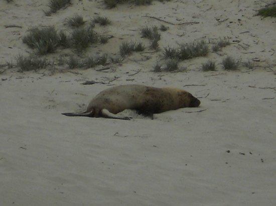 Seal Bay Conservation Park: Leone marino