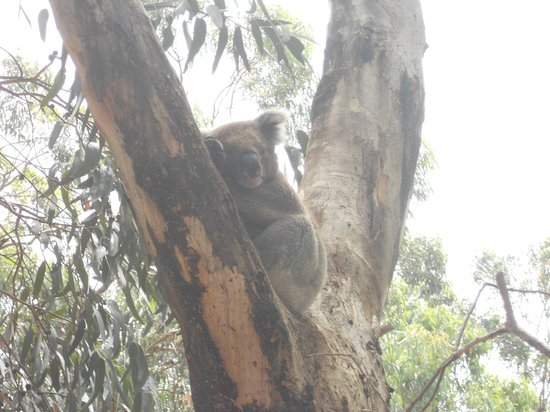 Hanson Bay Wildlife Sanctuary: Koala