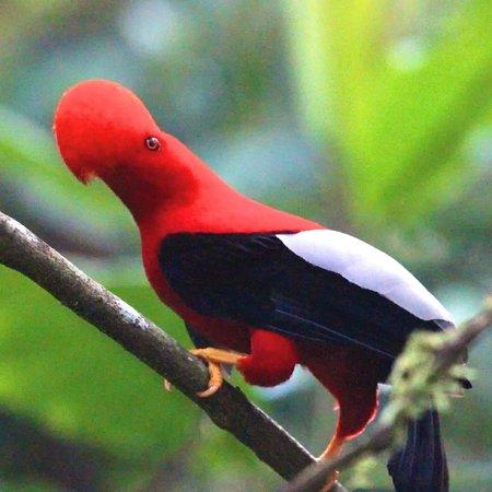 Paz de las Aves Bird Refuge: Andean Cock of the Rock