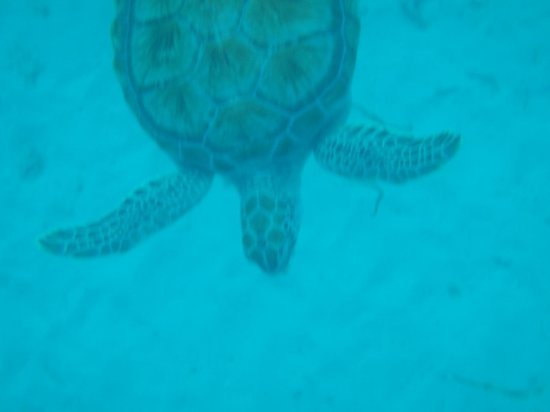 The Crane Resort: Turtle on Cool Runnings catamaran