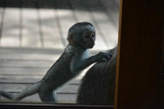 Dulini River Lodge: monkey outside our door2