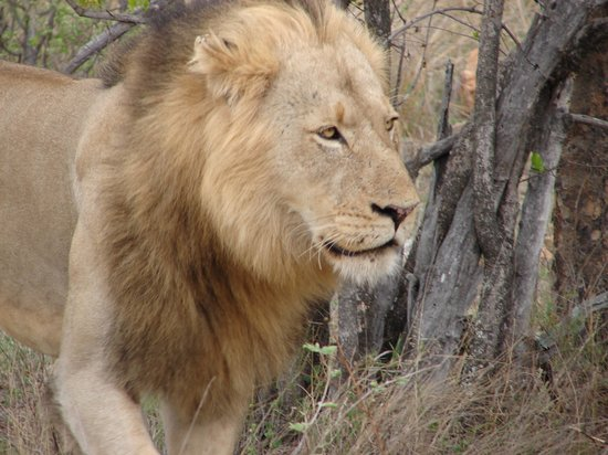 Mohlabetsi Safari Lodge: 5 year old male lion seen on morning safari