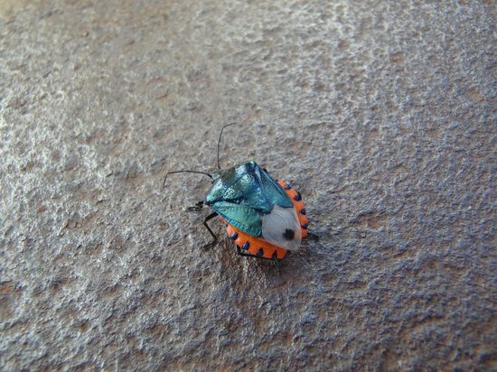 Marigot Palms Luxury Caribbean Guesthouse and Apartments: Armored Cannon Beetle at Pigeon Island