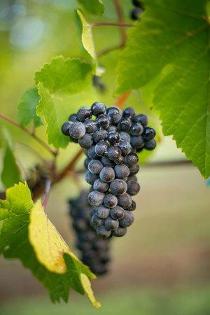 Winter's Hill Vineyard: Pinot Noir fruit just a few days before picking