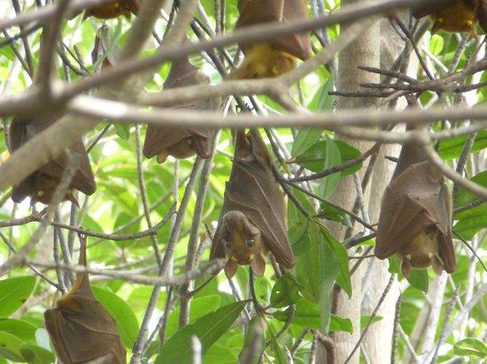 Bintang Bolong Lodge : bomen vol vleermuizen die 's avonds behoorlijk wat geluid maken
