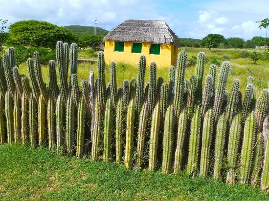 Voyager Bonaire Tours: Fence of cactus plants. There are many cacti in North Island
