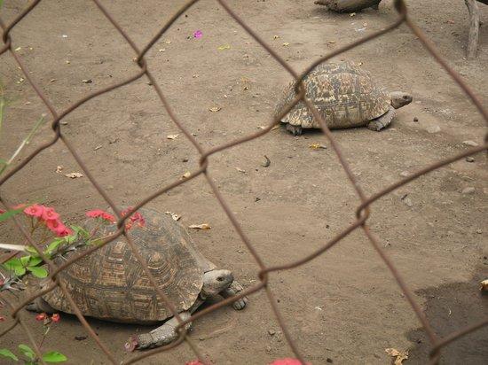Mount Meru Game Lodge & Sanctuary : Tortoises in the sanctuary