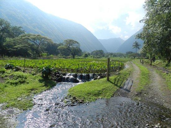 Na'alapa Stables - Waipio Valley: Taro Farming In The Valley